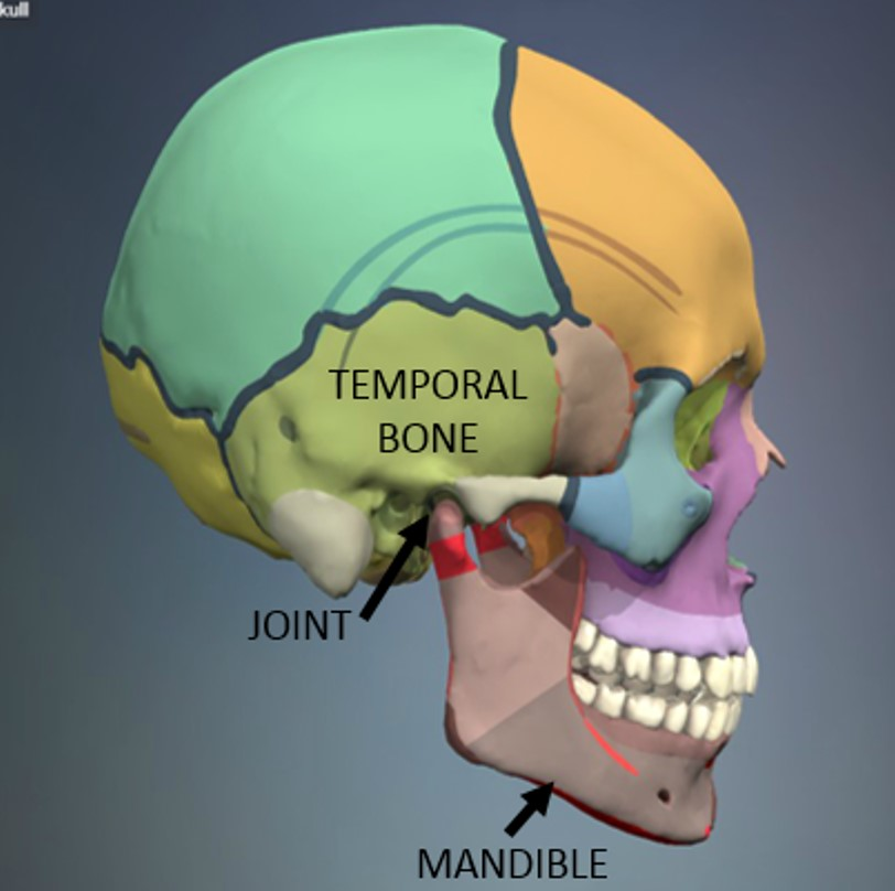 The Anatomy Physiology Of Tmj And Tmd Indianapolis In Dentist
